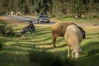 Wypas owiec|escape